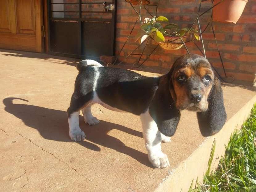 Cachorros Basset Hound - 3