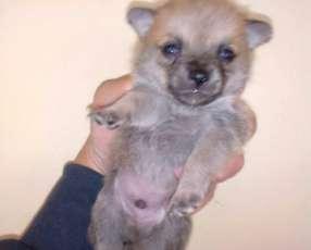 Mini Chihuahua pelo largo macho