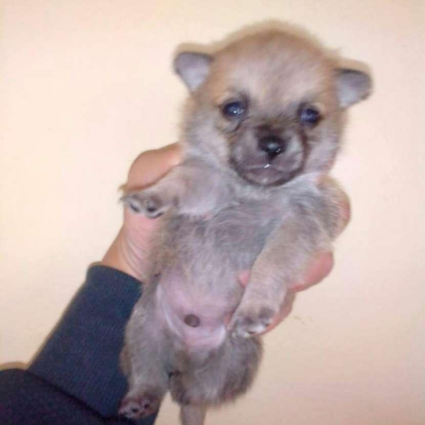 Mini Chihuahua pelo largo macho - 0
