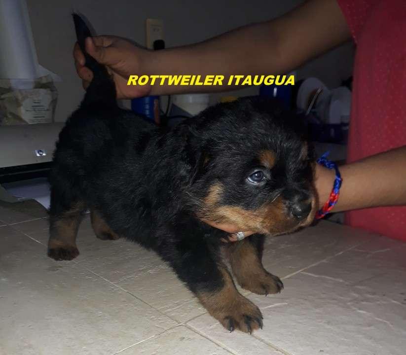 Cachorros Rottweiler - 2