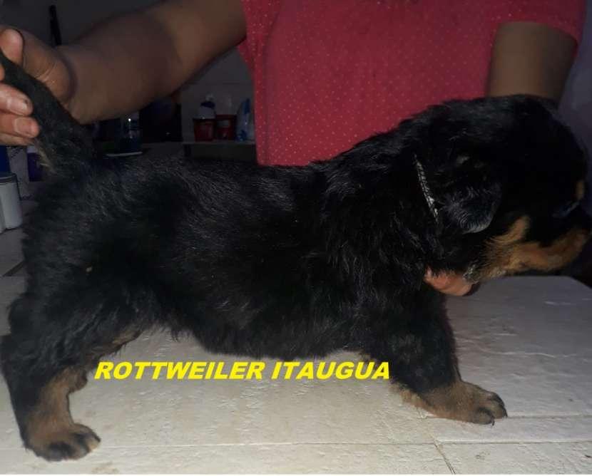 Cachorros Rottweiler - 3