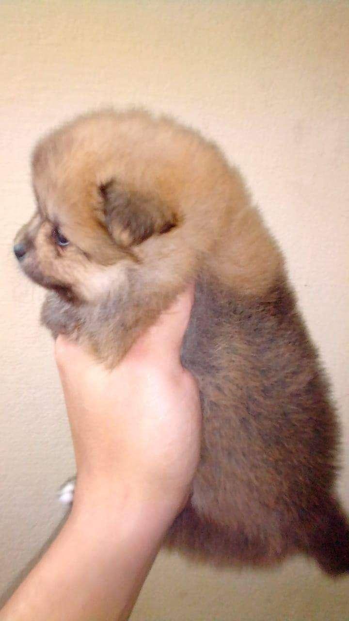 Cachorros pomerania Lulú - 4