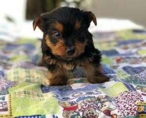 Cachorro Yorkshire miniatura macho