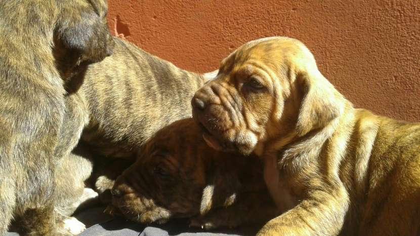 Cachorros Fila Brasilero - 0