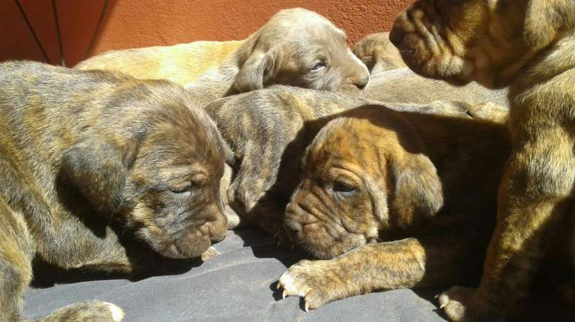 Cachorros Fila Brasilero - 1