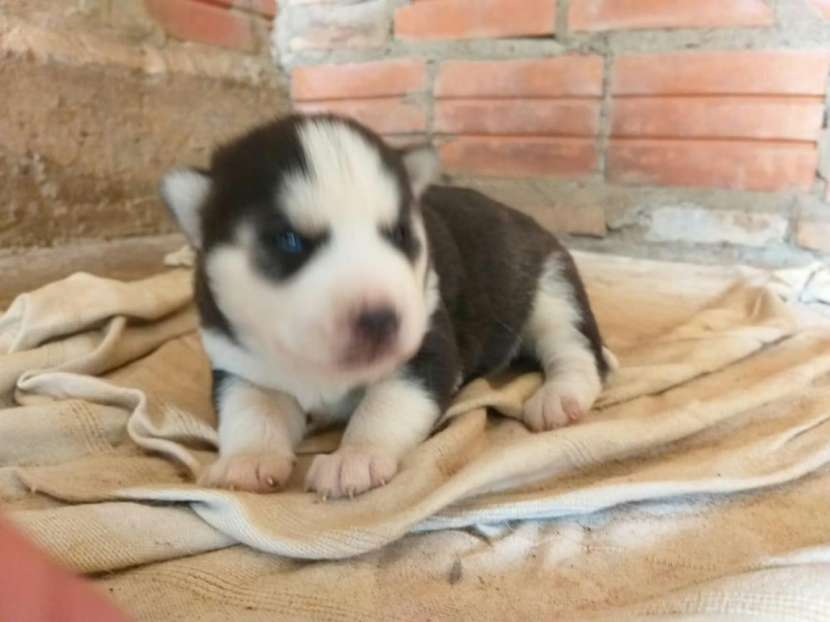 Cachorros Husky Siberiano - 8