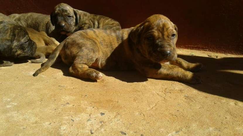 Cachorros Fila Brasilero - 8
