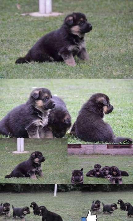 Cachorros Pastor Alemán