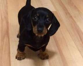 Cachorro Teckel miniatura negro
