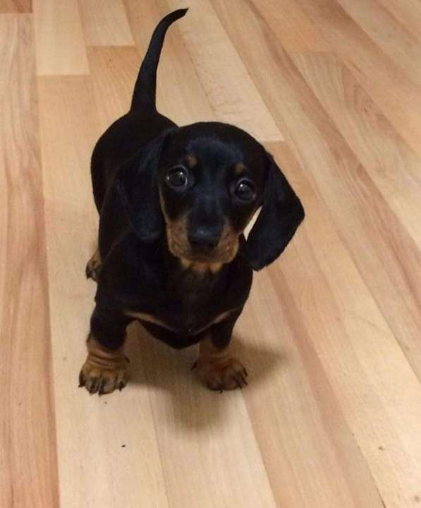 Cachorro Teckel miniatura negro - 0