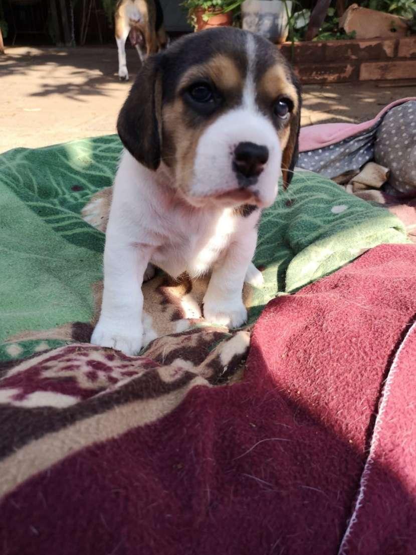 Cachorros Beagles - 0