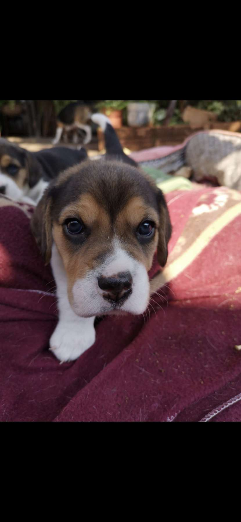 Cachorros Beagles - 1