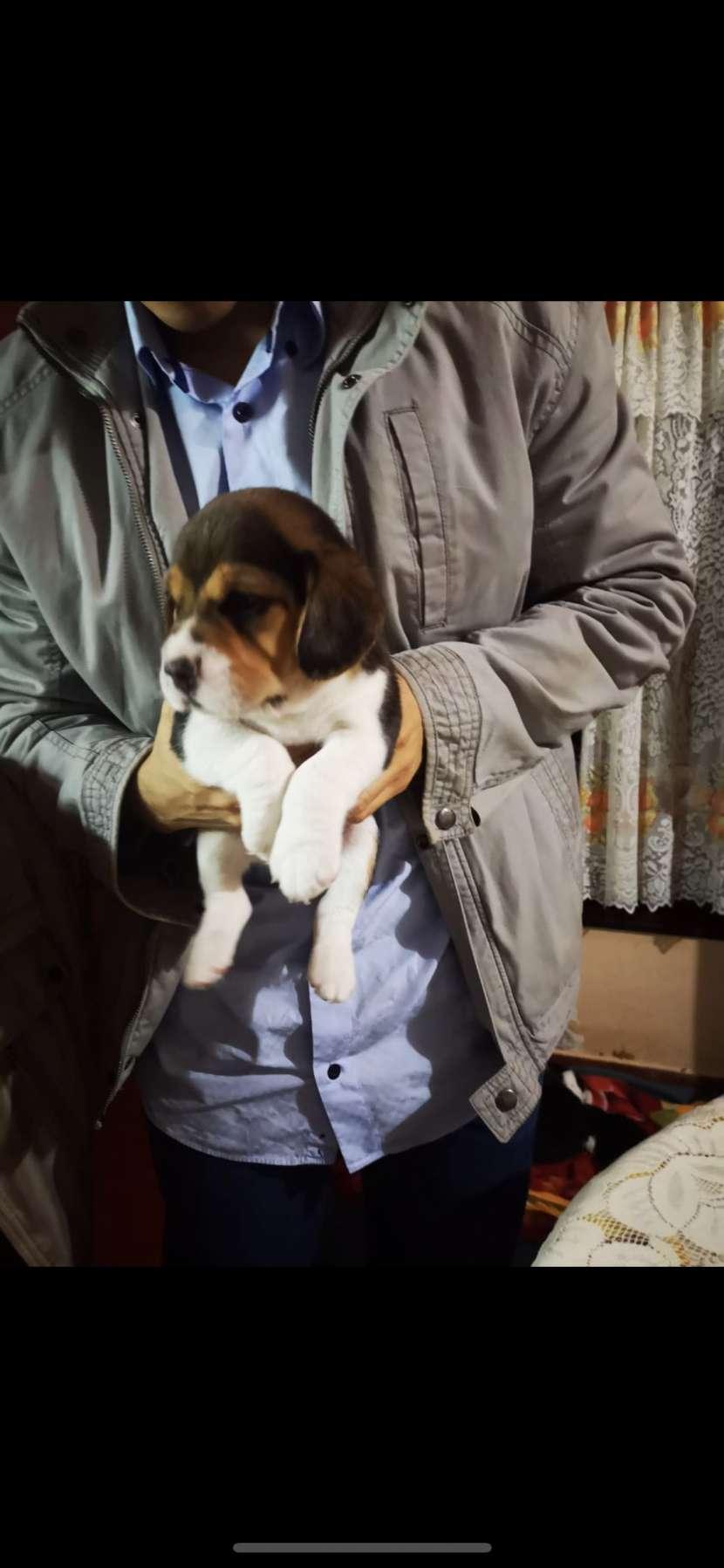 Cachorros Beagles - 2
