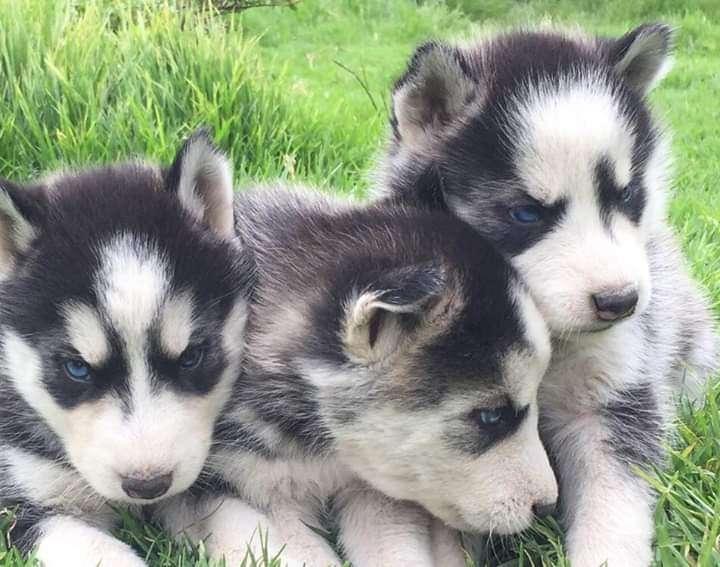 Cachorros husky siberiano - 3