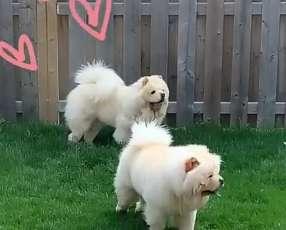 Cachorro chow chow blanco