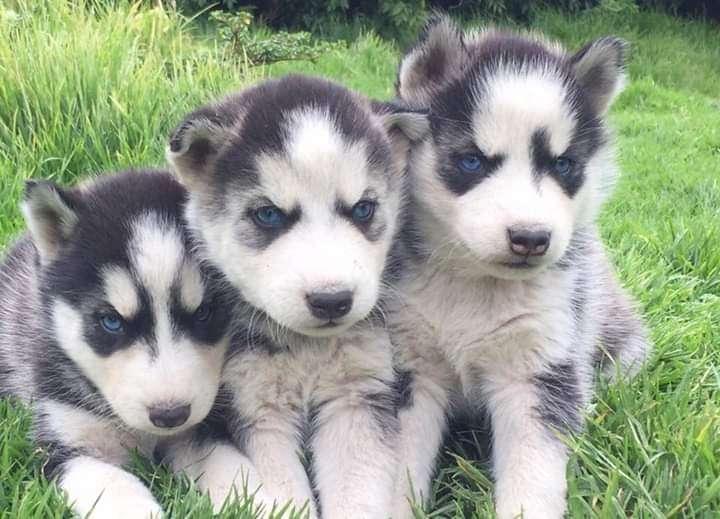 Cachorros husky siberiano - 0