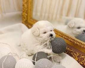 Cachorro Caniche mini