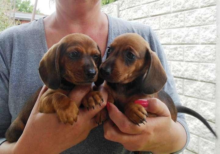Cachorros Teckel Miniatura - 0