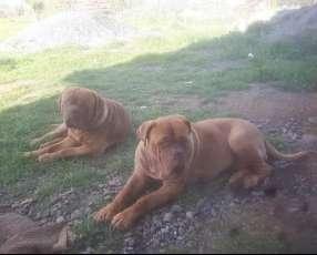 Cachorro Dogo Burdeos