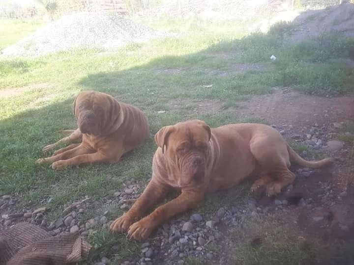 Cachorro Dogo Burdeos - 0