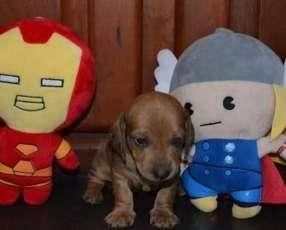 Cachorro Teckel Miniatura