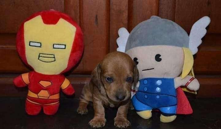 Cachorro Teckel Miniatura - 0