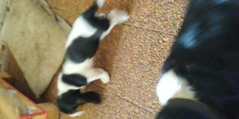Cachorras Basset Hound - 3