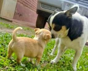 Cachorros chihuahuas miniatura