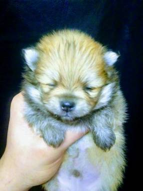 Mini Lulu de Pomerania macho rojo