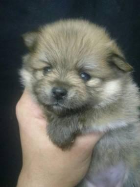 Mini Lulu de Pomerania hembra