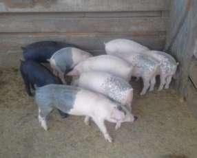 Cerdos raza americana