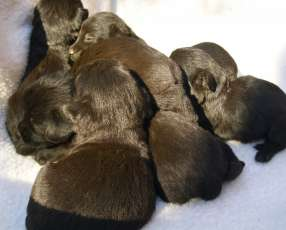 Scottish Terrier Cachorros