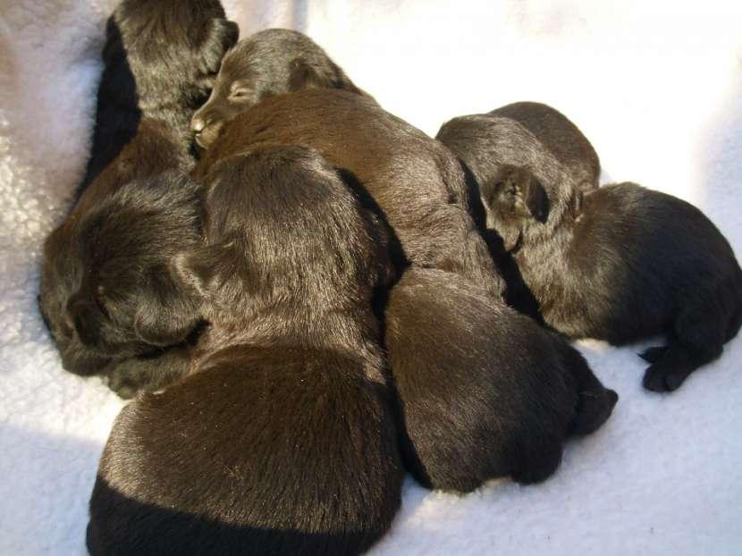 Scottish Terrier Cachorros - 0
