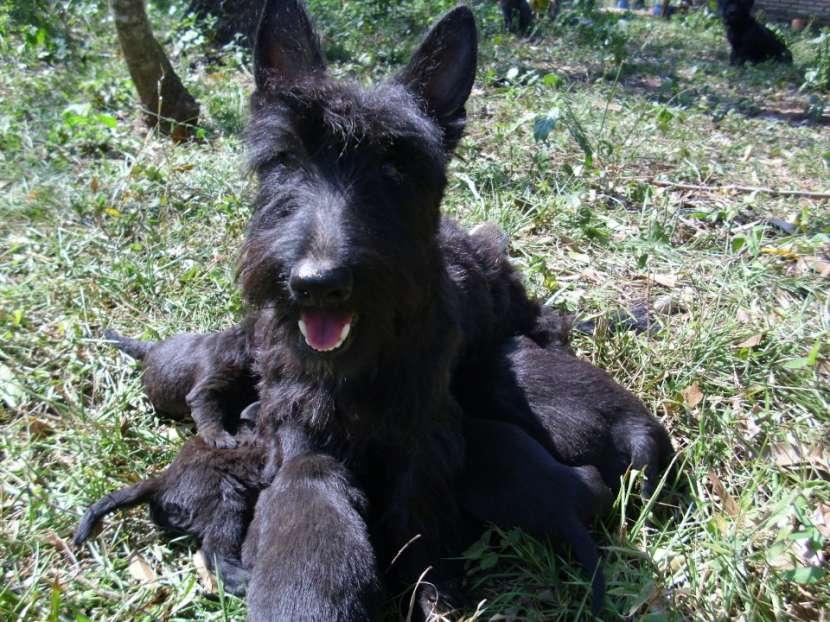 Scottish Terrier Cachorros - 1