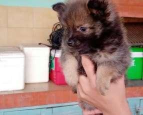 Mini Lulu macho