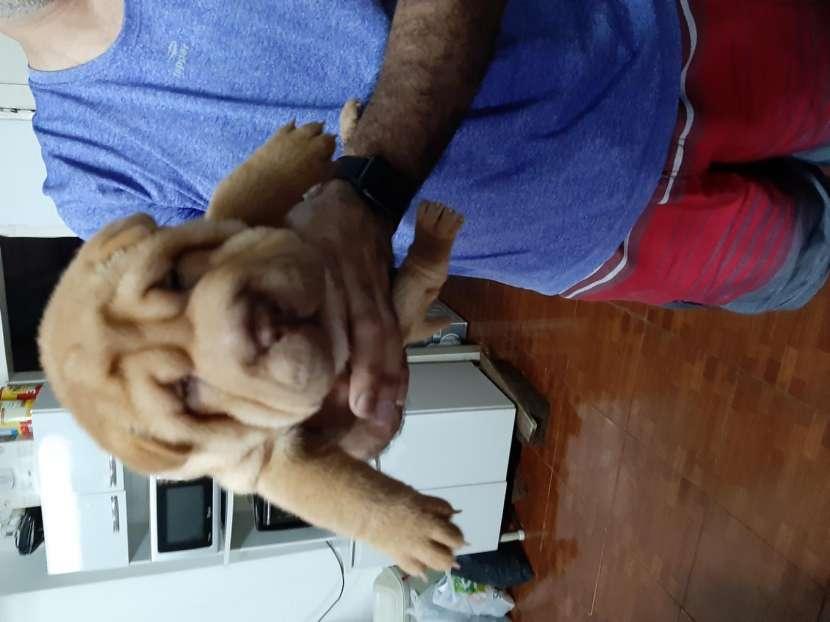 Cachorros Sharpei - 5