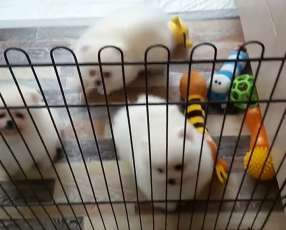 Cachorro Pomerania Lulú