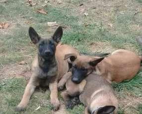 Cachorros pastor belga malinois