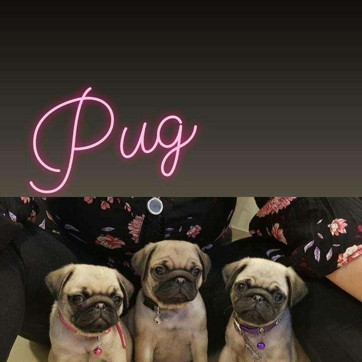 Pug - 0