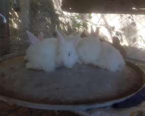 Conejos Cruza Neozelandes