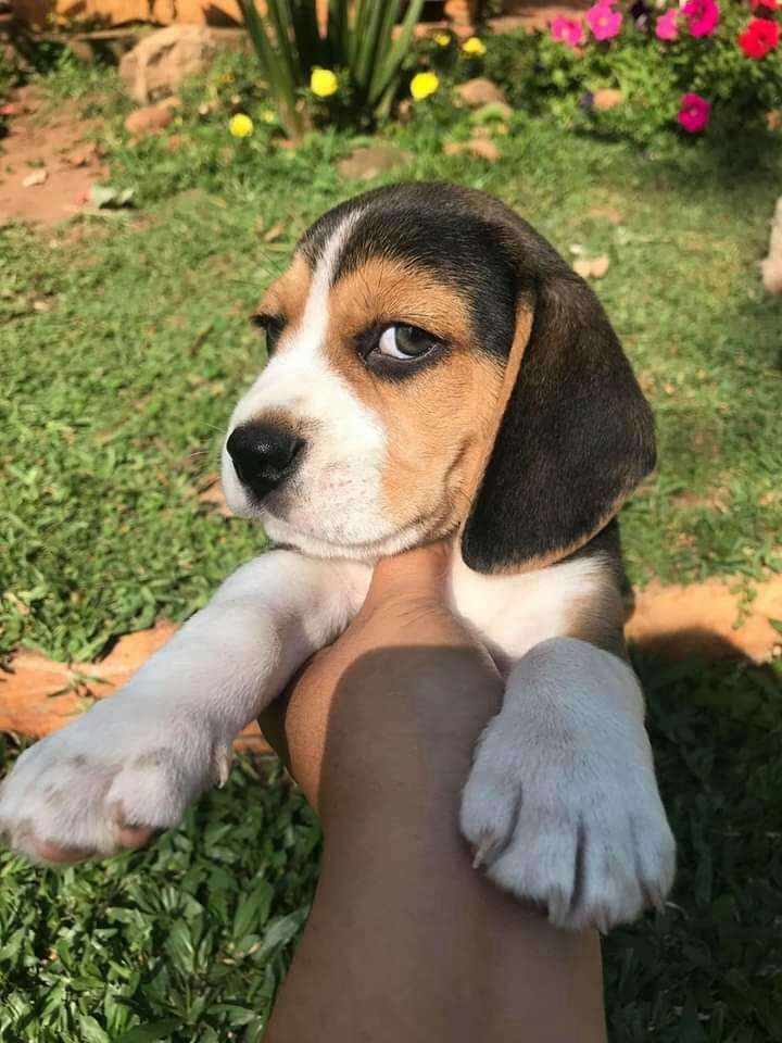 Beagle - 0