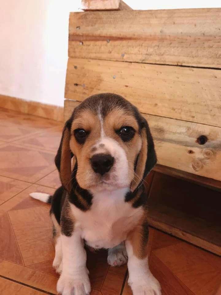 Beagle - 3