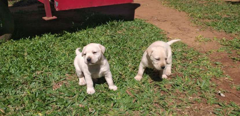 Labrador retriever - 6