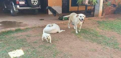 Labrador retriever - 3