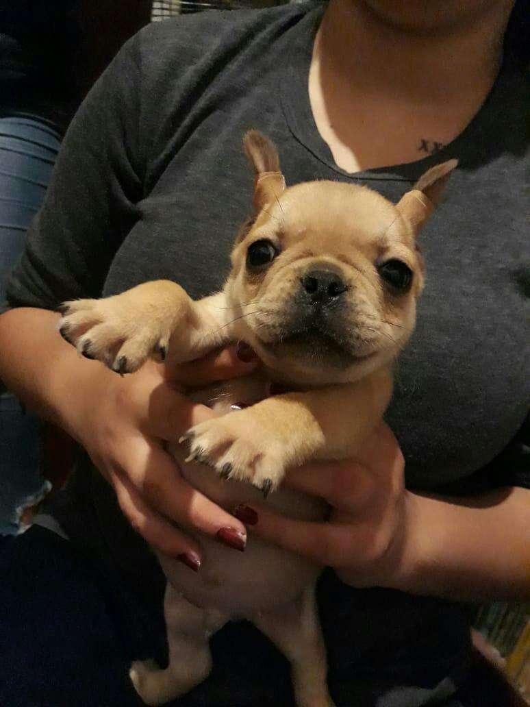 Bulldog francés macho y hembra - 4