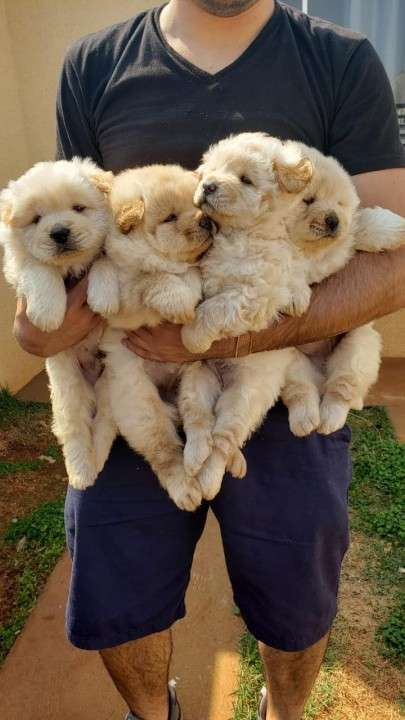 Cachorros Chow Chow - 3