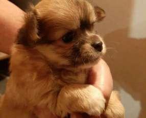 Mini Chihuahua hembra pelo largo