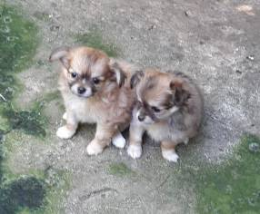 Mini Chihuahua pelo largo hembra