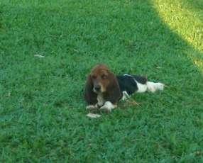 Cachorro basset hound