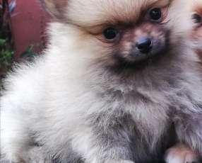 Mini Lulu de Pomerania